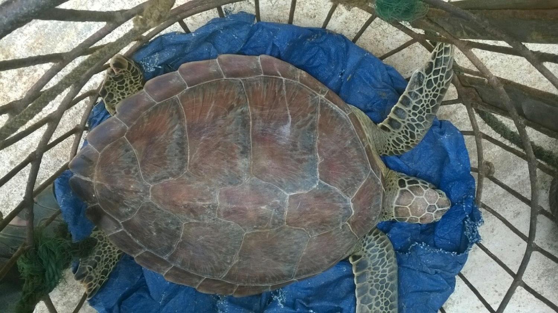 saving sea turtles in viet nam u2014 shorthand social